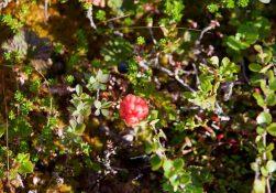 Осенние ягоды. Морошка и брусника.